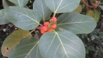 Ficus clusiifolia (06)