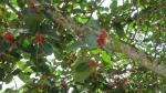 Ficus clusiifolia (07)