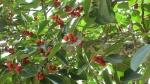 Ficus clusiifolia (08)