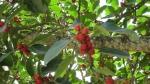 Ficus clusiifolia (09)