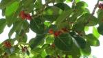 Ficus clusiifolia (10)