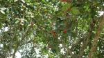 Ficus clusiifolia (11)