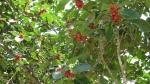 Ficus clusiifolia (12)