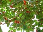 Ficus clusiifolia (13)