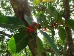Ficus clusiifolia (14)