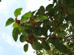 Ficus clusiifolia (15)
