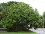 Ficus lyrata (01)
