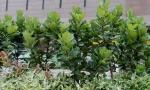 Ficus lyrata (02)