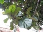 Ficus lyrata (03)