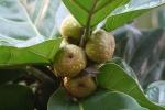 Ficus lyrata (06)