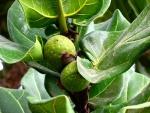 Ficus lyrata (07)