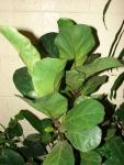 Ficus lyrata (09)