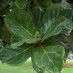 Ficus lyrata (11)
