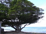 Ficus microcarpa (02)