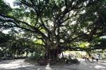 Ficus microcarpa (03)