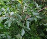 Ficus microcarpa (06)
