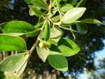 Ficus microcarpa (08)
