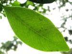 Ficus microcarpa (11)