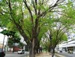 Ficus religiosa (02)