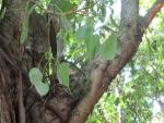 Ficus religiosa (03)