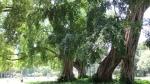 Ficus religiosa (04)