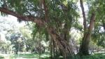 Ficus religiosa (05)