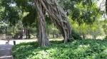 Ficus religiosa (06)