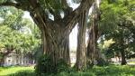 Ficus religiosa (07)