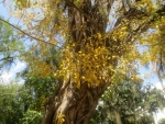 Ficus religiosa (08)