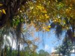 Ficus religiosa (09)