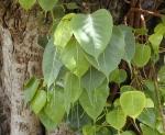 Ficus religiosa (10)