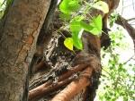 Ficus religiosa (11)