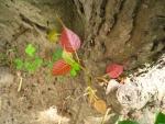 Ficus religiosa (13)