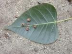 Ficus religiosa (14)