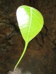 Ficus religiosa (15)