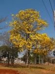 ipê-amarelo (06)