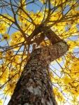 ipê-amarelo (07)