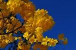 ipê-amarelo (09)