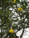 ipê-amarelo (10)