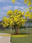 ipê-amarelo (11)