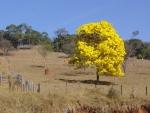 ipê-amarelo (14)