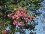 paineira-rosa (09)