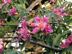 paineira-rosa (11)