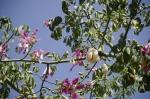 paineira-rosa (12)