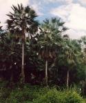 carnaúba (05)
