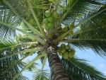 coqueiro - Cocos nucifera (02)