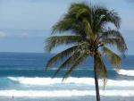 coqueiro - Cocos nucifera (03)
