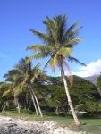 coqueiro - Cocos nucifera (04)