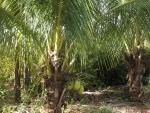 coqueiro - Cocos nucifera (05)