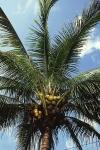 coqueiro - Cocos nucifera (06)